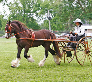Sold horse Duncan pulling carriage on field